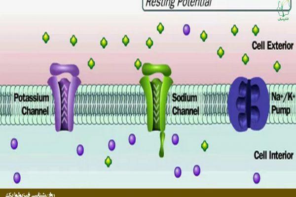 عملکرد پمپ سدیم - پتاسیم در غشاء نورون